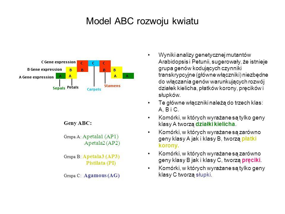 Model ABC rozwoju kwiatu Wyniki analizy genetycznej mutantów Arabidopsis i Petunii, sugerowały, że istnieje grupa genów kodujących czynniki transkrypc