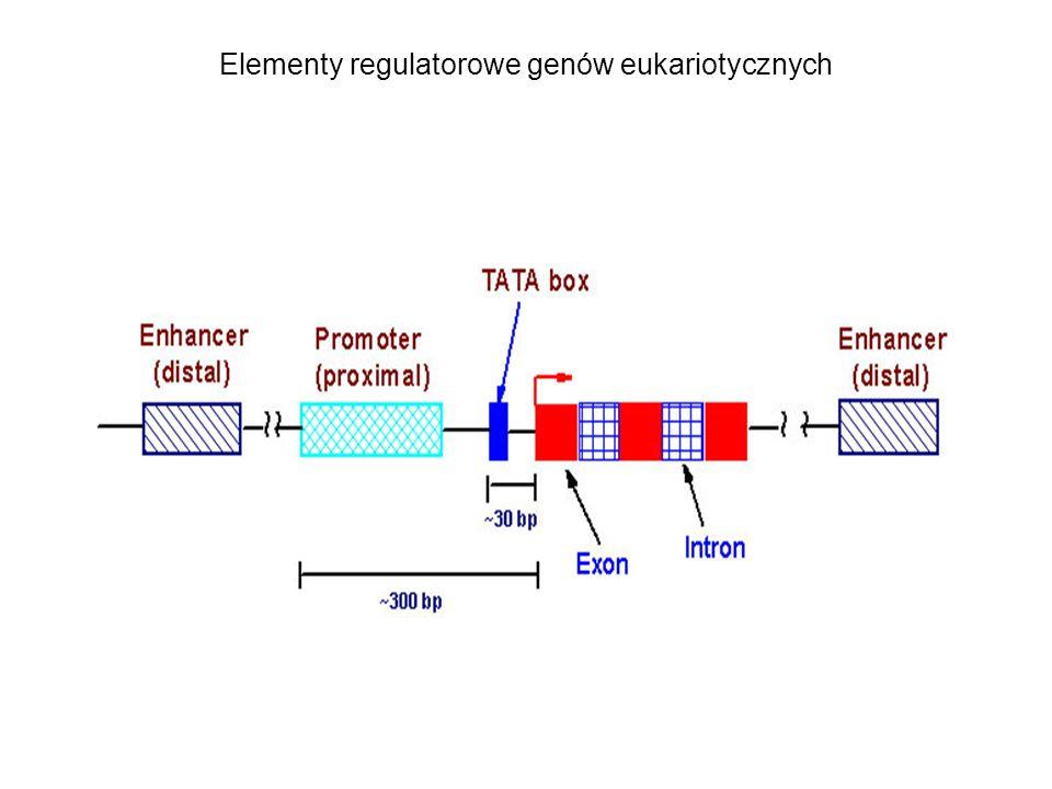 Elementy regulatorowe genów eukariotycznych