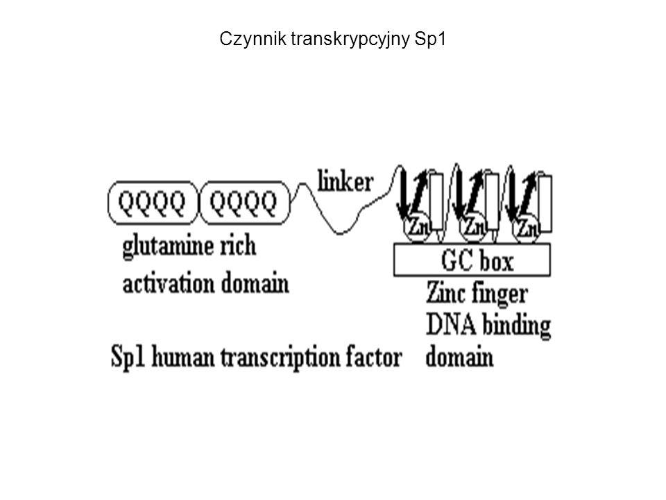 Czynnik transkrypcyjny Sp1