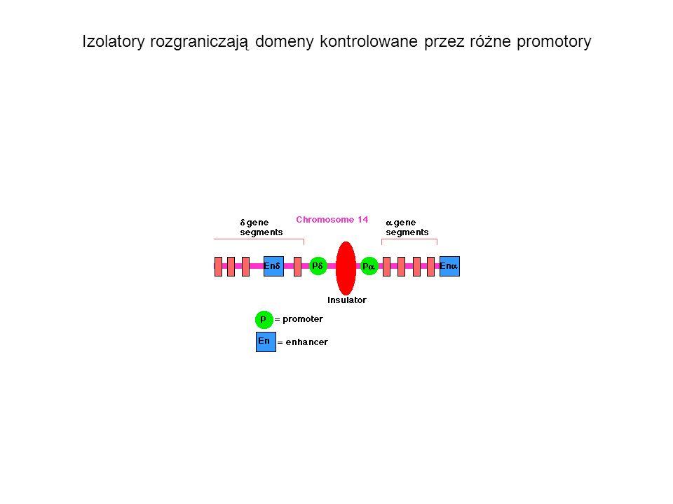 Izolatory rozgraniczają domeny kontrolowane przez różne promotory