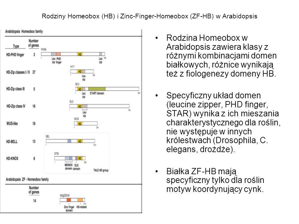 Rodziny Homeobox (HB) i Zinc-Finger-Homeobox (ZF-HB) w Arabidopsis Rodzina Homeobox w Arabidopsis zawiera klasy z różnymi kombinacjami domen białkowyc