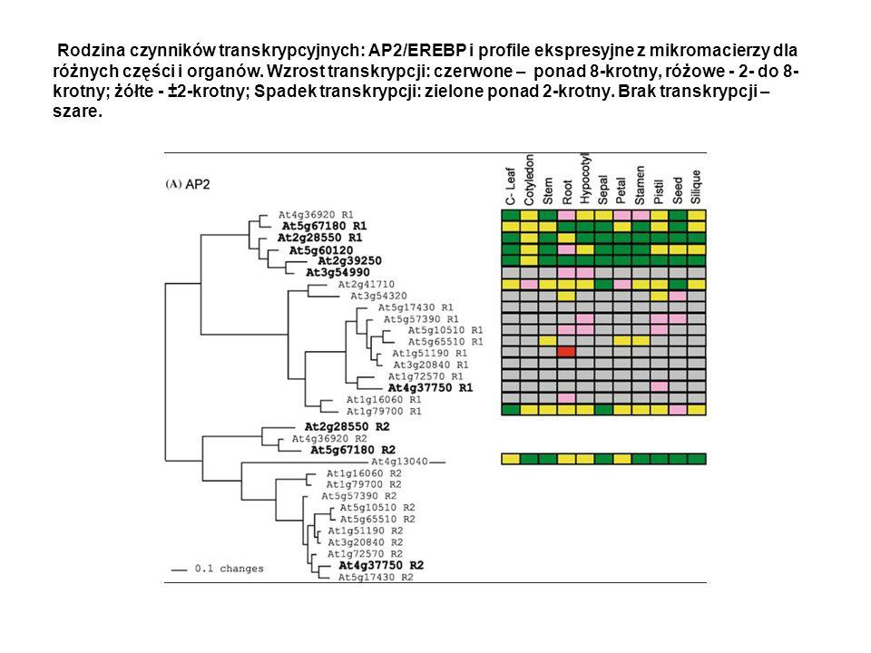 Rodzina czynników transkrypcyjnych: AP2/EREBP i profile ekspresyjne z mikromacierzy dla różnych części i organów. Wzrost transkrypcji: czerwone – pona