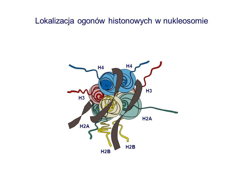 Lokalizacja ogonów histonowych w nukleosomie H2A H2B H3 H4 H3 H2A H2B