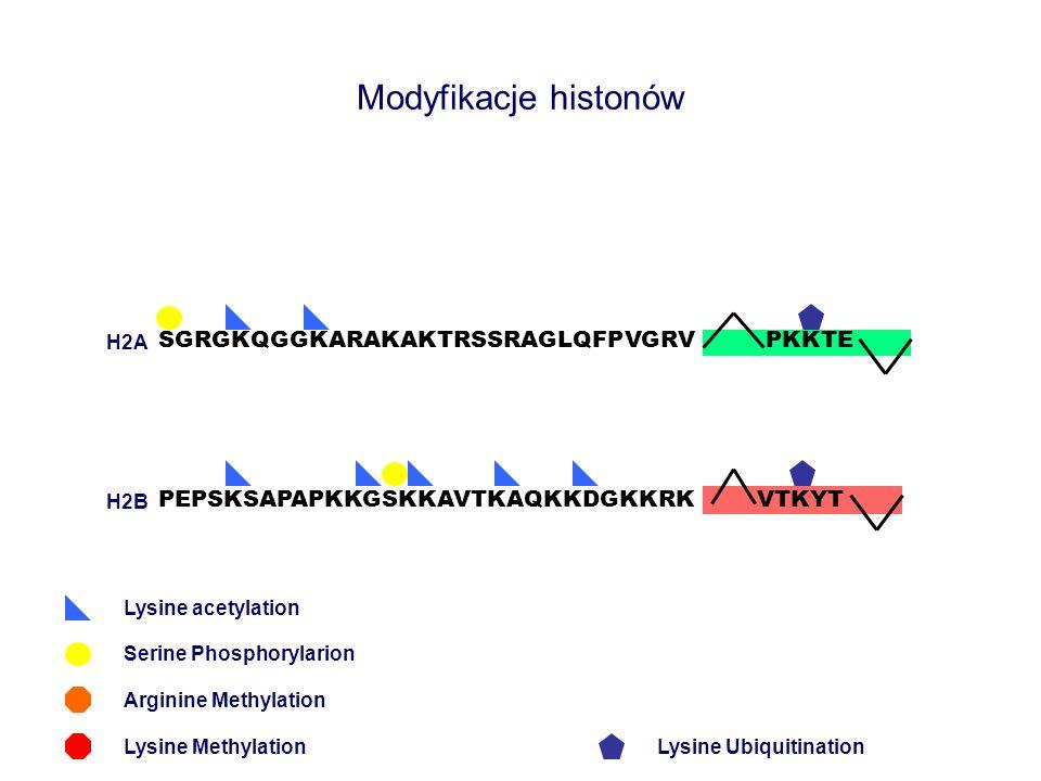 Modyfikacje histonów SGRGKQGGKARAKAKTRSSRAGLQFPVGRV PEPSKSAPAPKKGSKKAVTKAQKKDGKKRK PKKTE Lysine acetylation Arginine Methylation Lysine Methylation VT