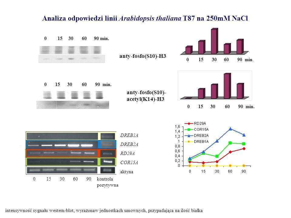 0 15 30 60 90 min. anty-fosfo(S10)-H3 DREB1A DREB2A RD29A COR15A aktyna kontrola pozytywna 0 15 30 60 90 Analiza odpowiedzi linii Arabidopsis thaliana