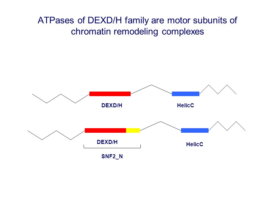 ATPases of DEXD/H family are motor subunits of chromatin remodeling complexes DEXD/H HelicC DEXD/H HelicC SNF2_N