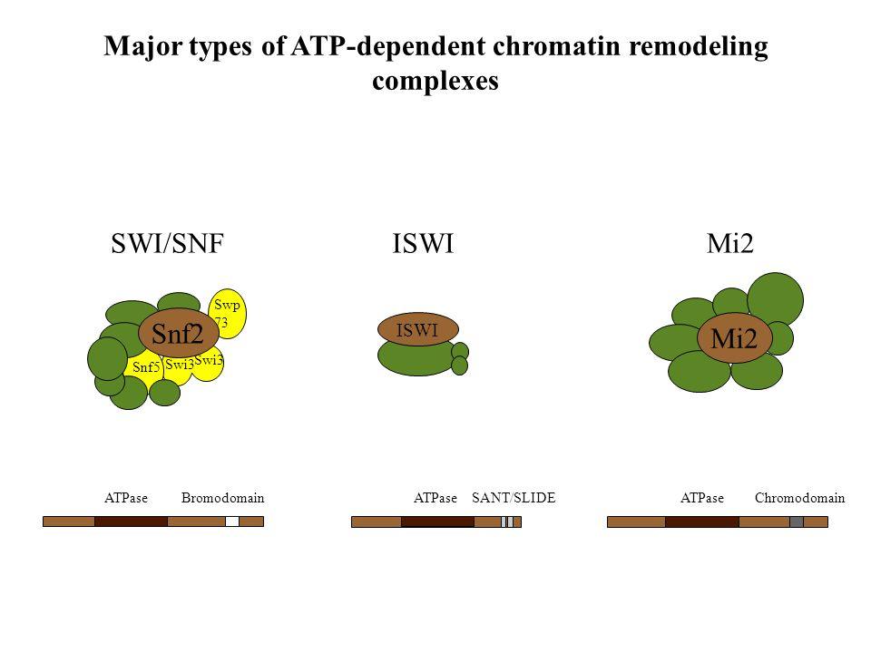 ATPase ChromodomainSANT/SLIDEBromodomain Major types of ATP-dependent chromatin remodeling complexes Mi2 Swp 73 Swi3 Snf5 Snf2 ISWI SWI/SNFISWIMi2