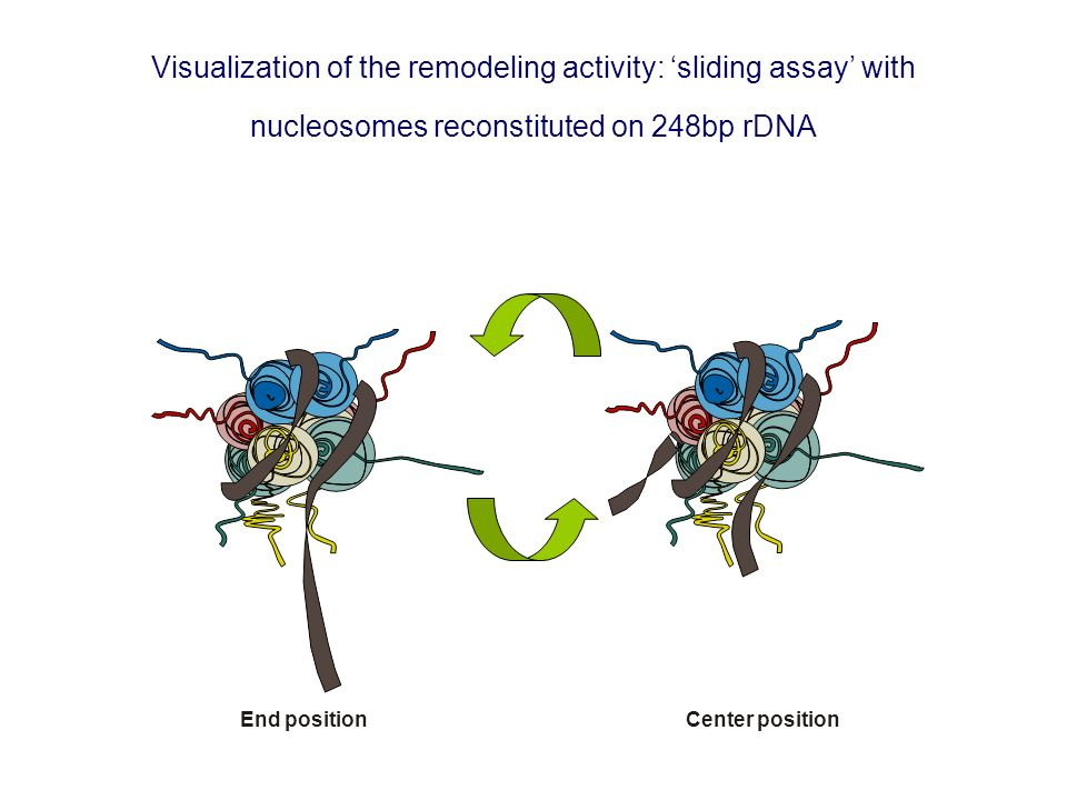Visualization of the remodeling activity: sliding assay with nucleosomes reconstituted on 248bp rDNA End positionCenter position