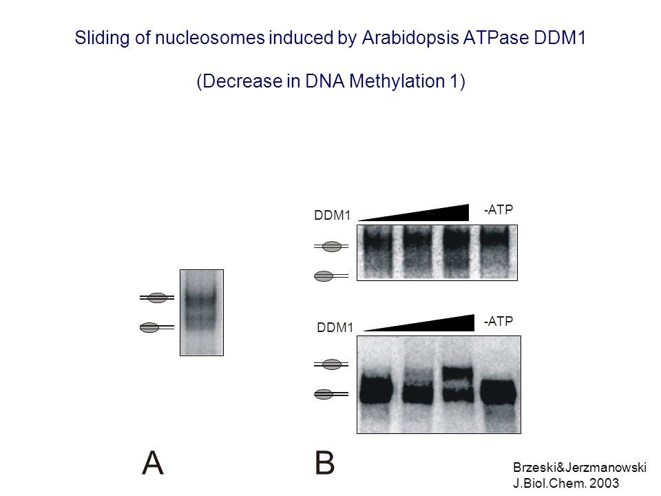 Sliding of nucleosomes induced by Arabidopsis ATPase DDM1 (Decrease in DNA Methylation 1) DDM1 A -ATP DDM1 -ATP B Brzeski&Jerzmanowski J.Biol.Chem. 20