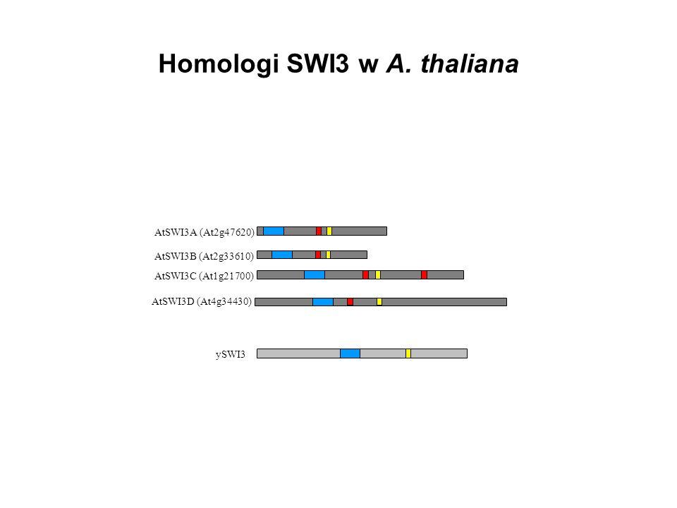 Homologi SWI3 w A. thaliana AtSWI3B (At2g33610) AtSWI3C (At1g21700) AtSWI3A (At2g47620) AtSWI3D (At4g34430) ySWI3