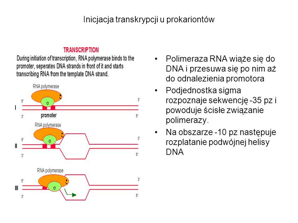 Inicjacja transkrypcji u prokariontów Polimeraza RNA wiąże się do DNA i przesuwa się po nim aż do odnalezienia promotora Podjednostka sigma rozpoznaje