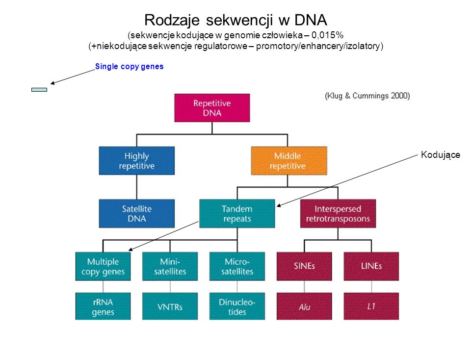 Rodzaje sekwencji w DNA (sekwencje kodujące w genomie człowieka – 0,015% (+niekodujące sekwencje regulatorowe – promotory/enhancery/izolatory) Kodując