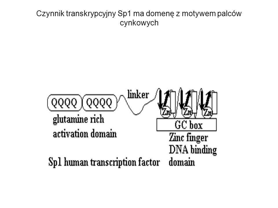 Czynnik transkrypcyjny Sp1 ma domenę z motywem palców cynkowych