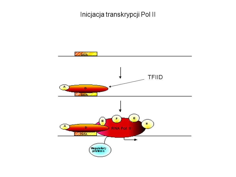 Inicjacja transkrypcji Pol II TFIID