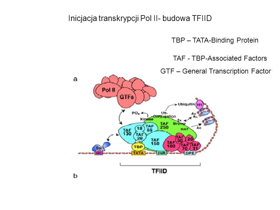 Inicjacja transkrypcji Pol II- budowa TFIID TAF - TBP-Associated Factors TBP – TATA-Binding Protein GTF – General Transcription Factor