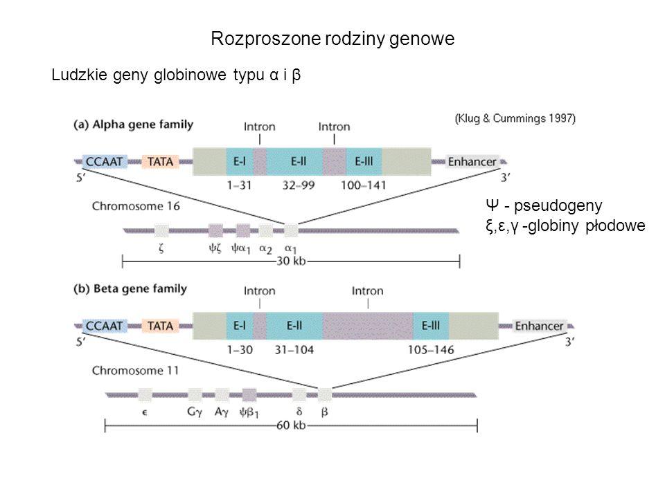 Rozproszone rodziny genowe Ludzkie geny globinowe typu α i β Ψ - pseudogeny ξ,ε,γ -globiny płodowe