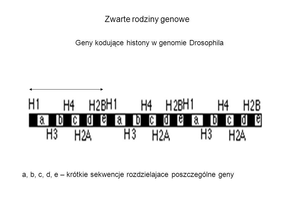 Zwarte rodziny genowe a, b, c, d, e – krótkie sekwencje rozdzielajace poszczególne geny Geny kodujące histony w genomie Drosophila