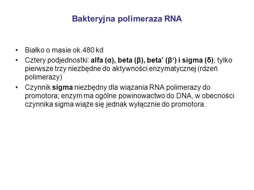 Bakteryjna polimeraza RNA Białko o masie ok.480 kd Cztery podjednostki: alfa (α), beta (β), beta (β) i sigma (δ); tylko pierwsze trzy niezbędne do akt