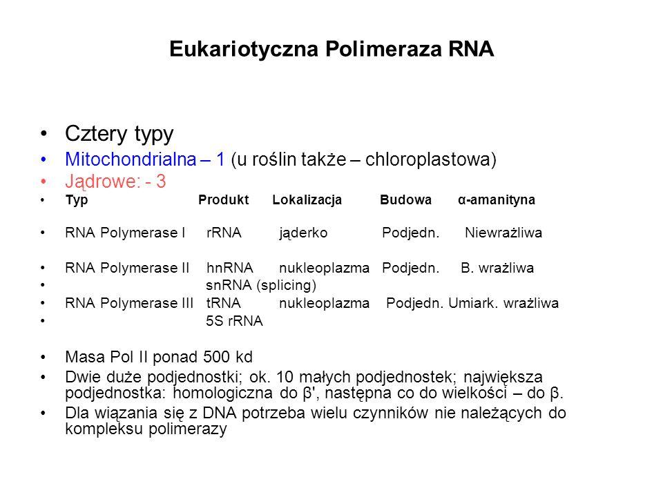 Eukariotyczna Polimeraza RNA Cztery typy Mitochondrialna – 1 (u roślin także – chloroplastowa) Jądrowe: - 3 Typ Produkt Lokalizacja Budowa α-amanityna