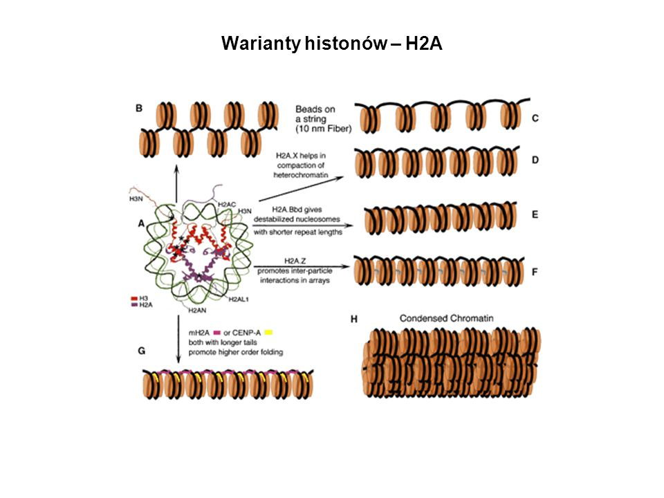 Warianty histonów – H2A
