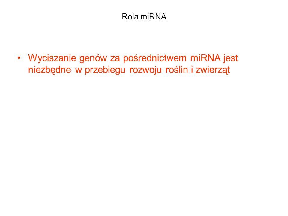 Rola miRNA Wyciszanie genów za pośrednictwem miRNA jest niezbędne w przebiegu rozwoju roślin i zwierząt