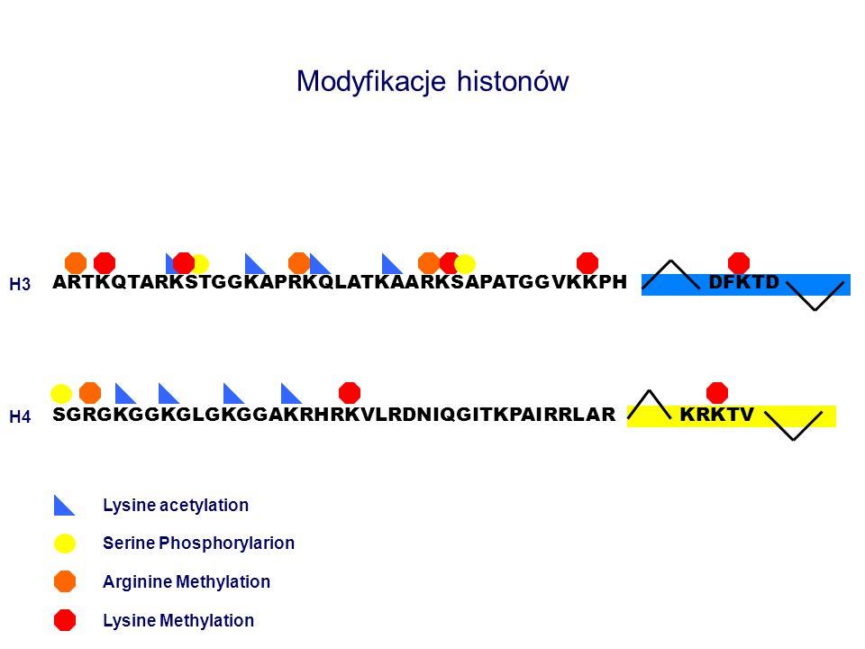 Modyfikacje histonów ARTKQTARKSTGGKAPRKQLATKAARKSAPATGGVKKPH SGRGKGGKGLGKGGAKRHRKVLRDNIQGITKPAIRRLAR DFKTD Lysine acetylation Arginine Methylation Lys