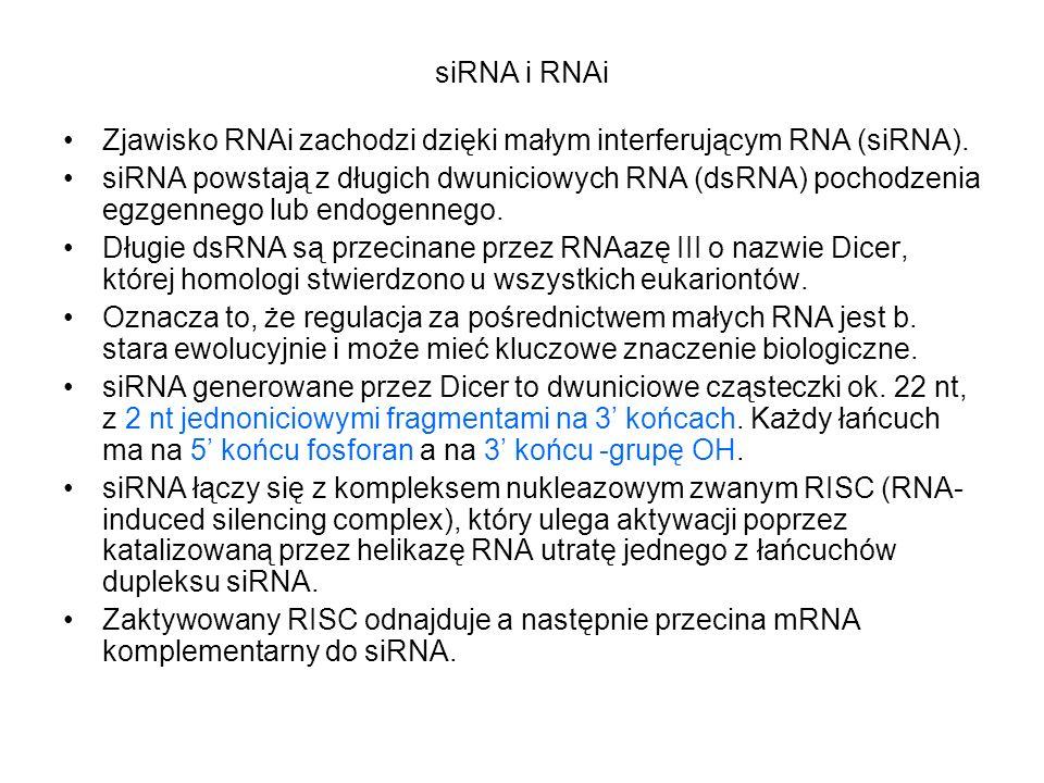 siRNA i RNAi Zjawisko RNAi zachodzi dzięki małym interferującym RNA (siRNA). siRNA powstają z długich dwuniciowych RNA (dsRNA) pochodzenia egzgennego
