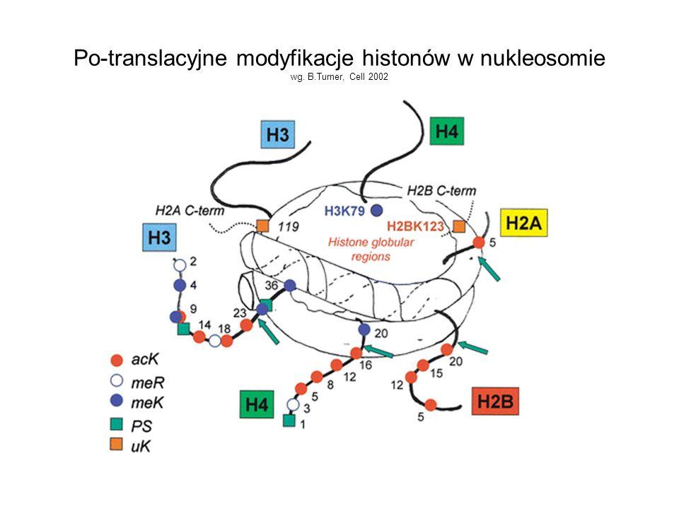 Po-translacyjne modyfikacje histonów w nukleosomie wg. B.Turner, Cell 2002