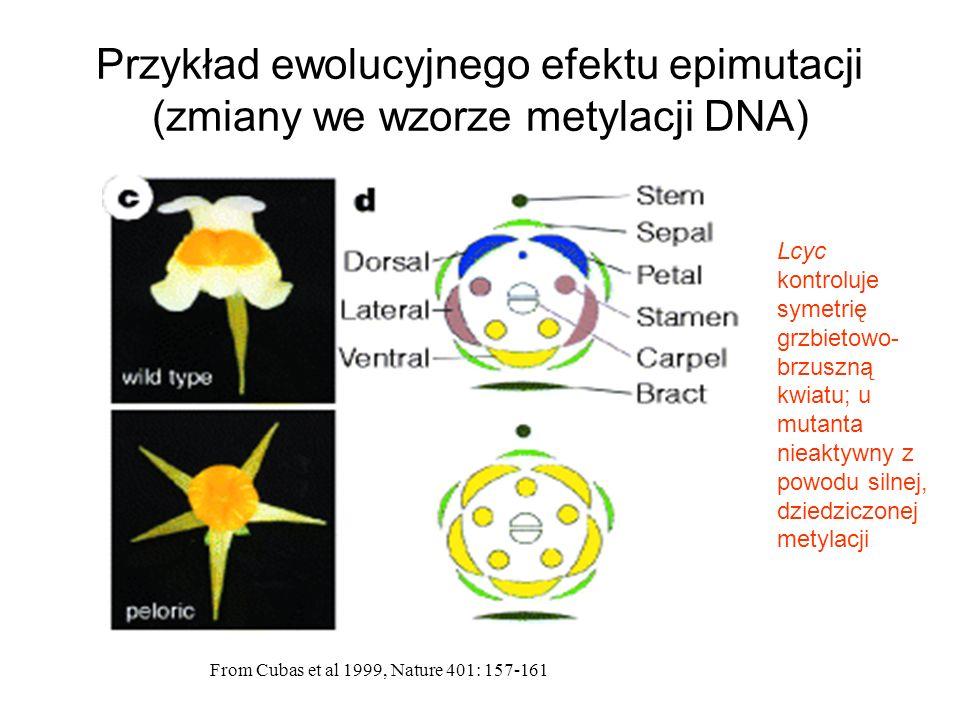 Przykład ewolucyjnego efektu epimutacji (zmiany we wzorze metylacji DNA) From Cubas et al 1999, Nature 401: 157-161 Lcyc kontroluje symetrię grzbietow