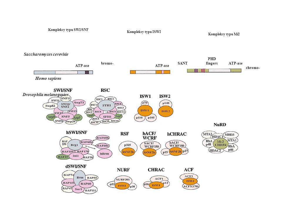 Ryc.1. Systematyka ATP-zależnych kompleksów remodelujących chromatynę (wg Geeta, 2002). Kompleksy typu SWI/SNF Kompleksy typu ISWI Kompleksy typu Mi2