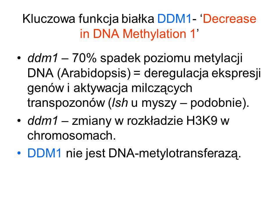 Kluczowa funkcja białka DDM1- Decrease in DNA Methylation 1 ddm1 – 70% spadek poziomu metylacji DNA (Arabidopsis) = deregulacja ekspresji genów i akty