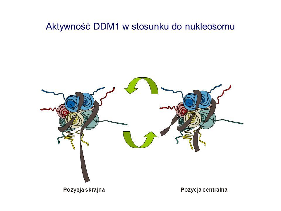 Aktywność DDM1 w stosunku do nukleosomu Pozycja skrajnaPozycja centralna