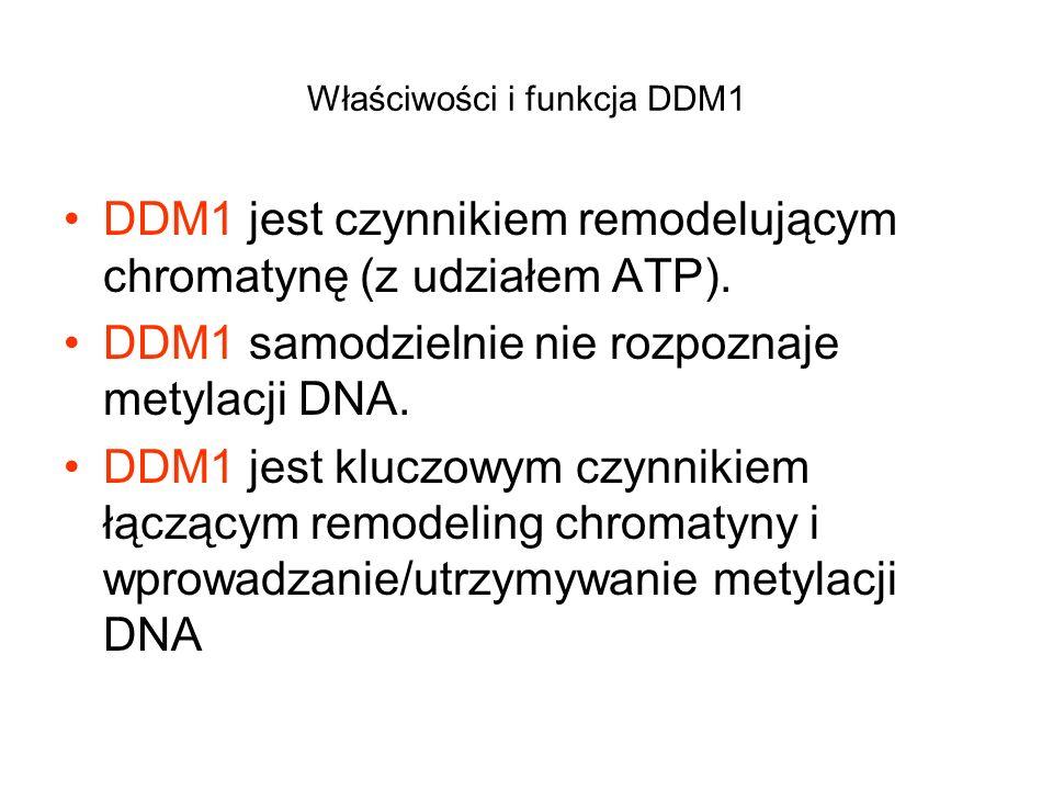 Właściwości i funkcja DDM1 DDM1 jest czynnikiem remodelującym chromatynę (z udziałem ATP). DDM1 samodzielnie nie rozpoznaje metylacji DNA. DDM1 jest k