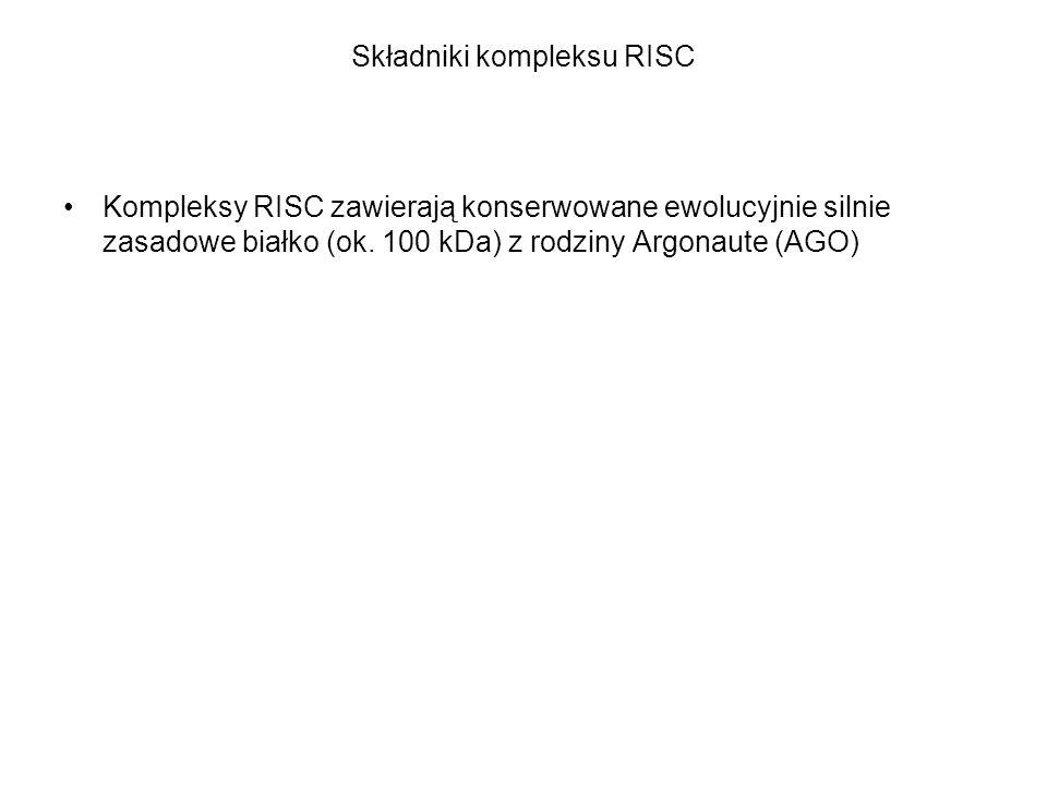 Składniki kompleksu RISC Kompleksy RISC zawierają konserwowane ewolucyjnie silnie zasadowe białko (ok. 100 kDa) z rodziny Argonaute (AGO)