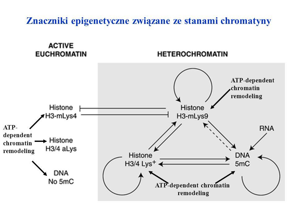 Znaczniki epigenetyczne związane ze stanami chromatyny ATP-dependent chromatin remodeling ATP-dependent chromatin remodeling ATP- dependent chromatin