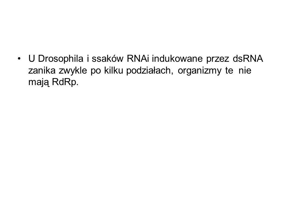 U Drosophila i ssaków RNAi indukowane przez dsRNA zanika zwykle po kilku podziałach, organizmy te nie mają RdRp.