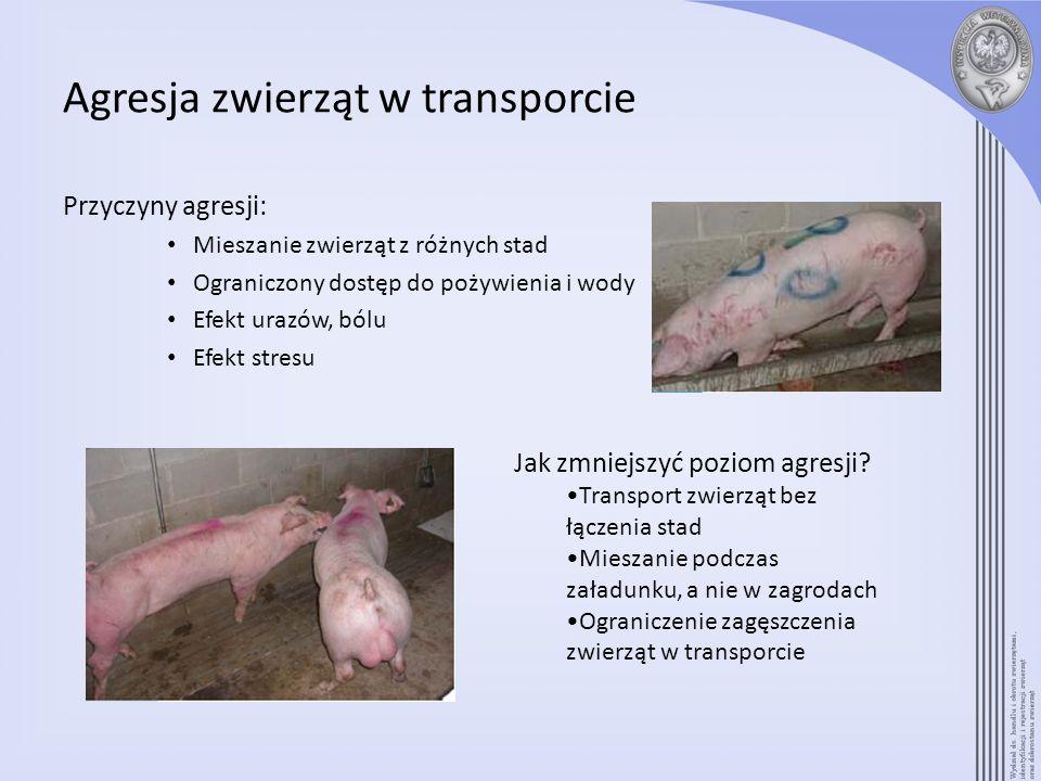 Agresja zwierząt w transporcie Przyczyny agresji: Mieszanie zwierząt z różnych stad Ograniczony dostęp do pożywienia i wody Efekt urazów, bólu Efekt s