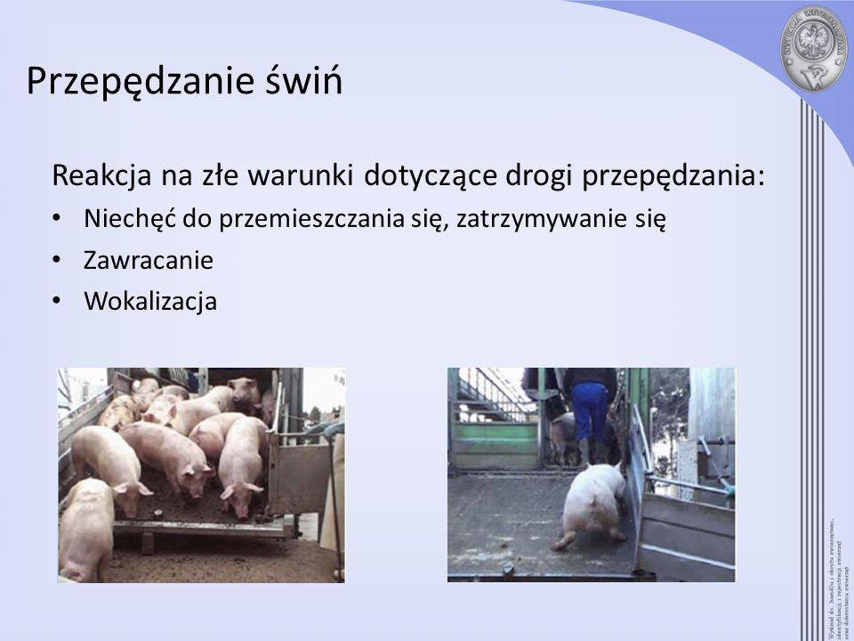 Przepędzanie świń Reakcja na złe warunki dotyczące drogi przepędzania: Niechęć do przemieszczania się, zatrzymywanie się Zawracanie Wokalizacja