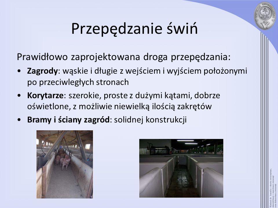 Przepędzanie świń Prawidłowo zaprojektowana droga przepędzania: Zagrody: wąskie i długie z wejściem i wyjściem położonymi po przeciwległych stronach K