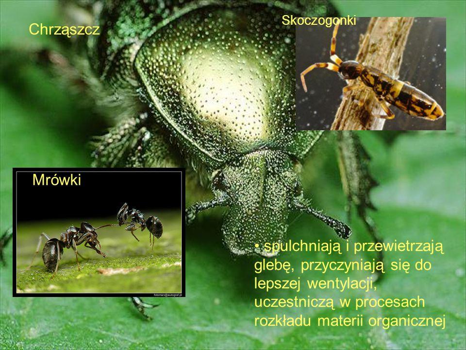 Skoczogonki Chrząszcz Mrówki spulchniają i przewietrzają glebę, przyczyniają się do lepszej wentylacji, uczestniczą w procesach rozkładu materii organ