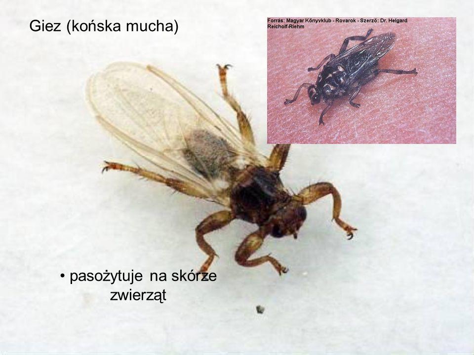 Giez (końska mucha) pasożytuje na skórze zwierząt