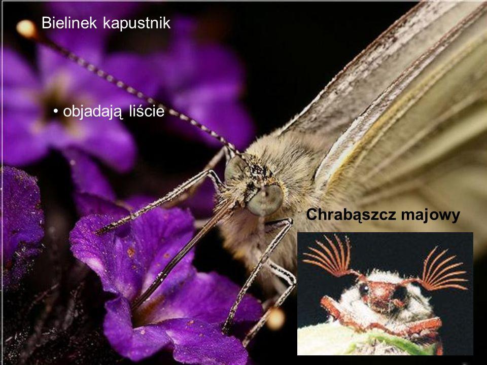 Bielinek kapustnik Chrabąszcz majowy objadają liście