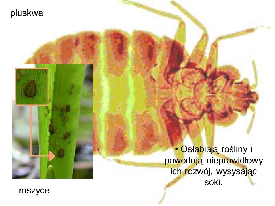 mszyce pluskwa Osłabiają rośliny i powodują nieprawidłowy ich rozwój, wysysając soki.