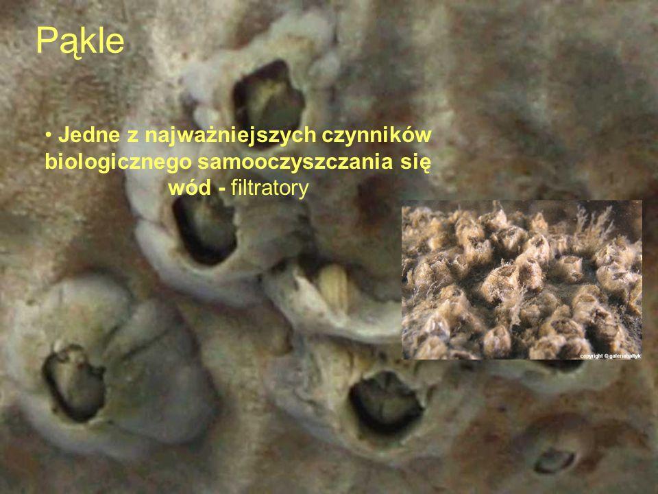Kiełże ośliczka żywią się i przeciwdziałają gniciu martwych szczątek organicznych