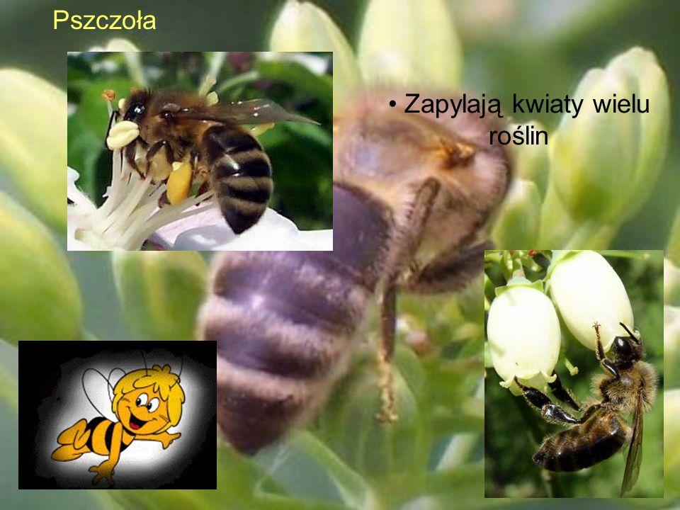 Pszczoła Zapylają kwiaty wielu roślin