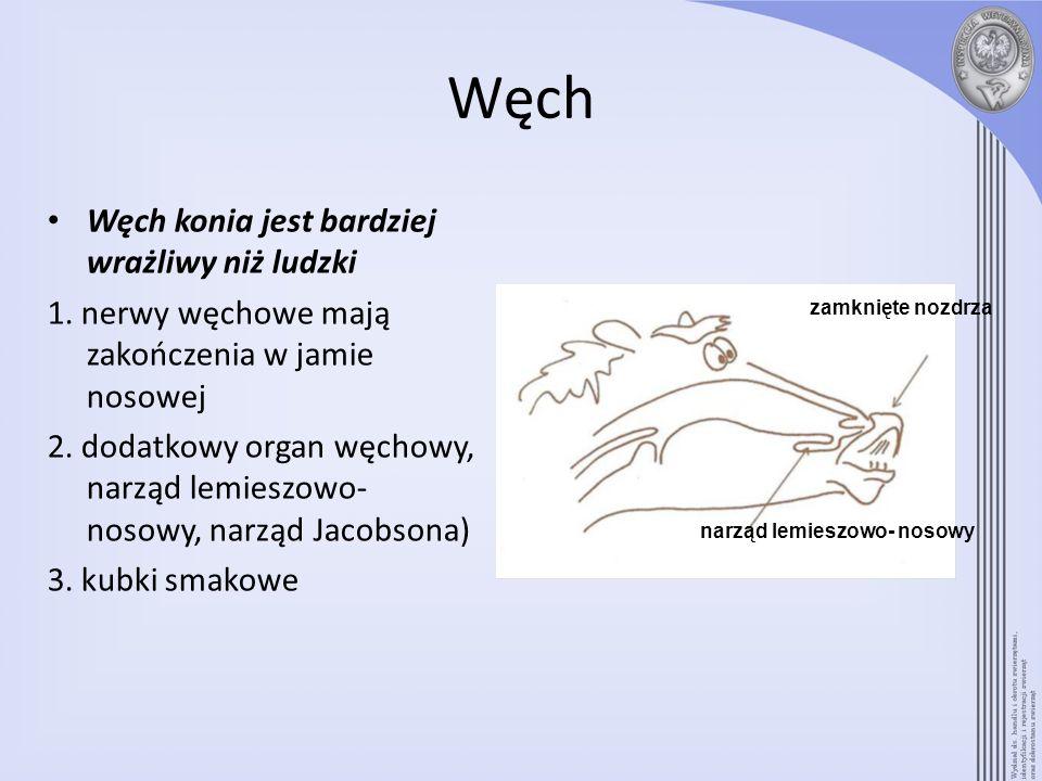 Węch Węch konia jest bardziej wrażliwy niż ludzki 1. nerwy węchowe mają zakończenia w jamie nosowej 2. dodatkowy organ węchowy, narząd lemieszowo- nos