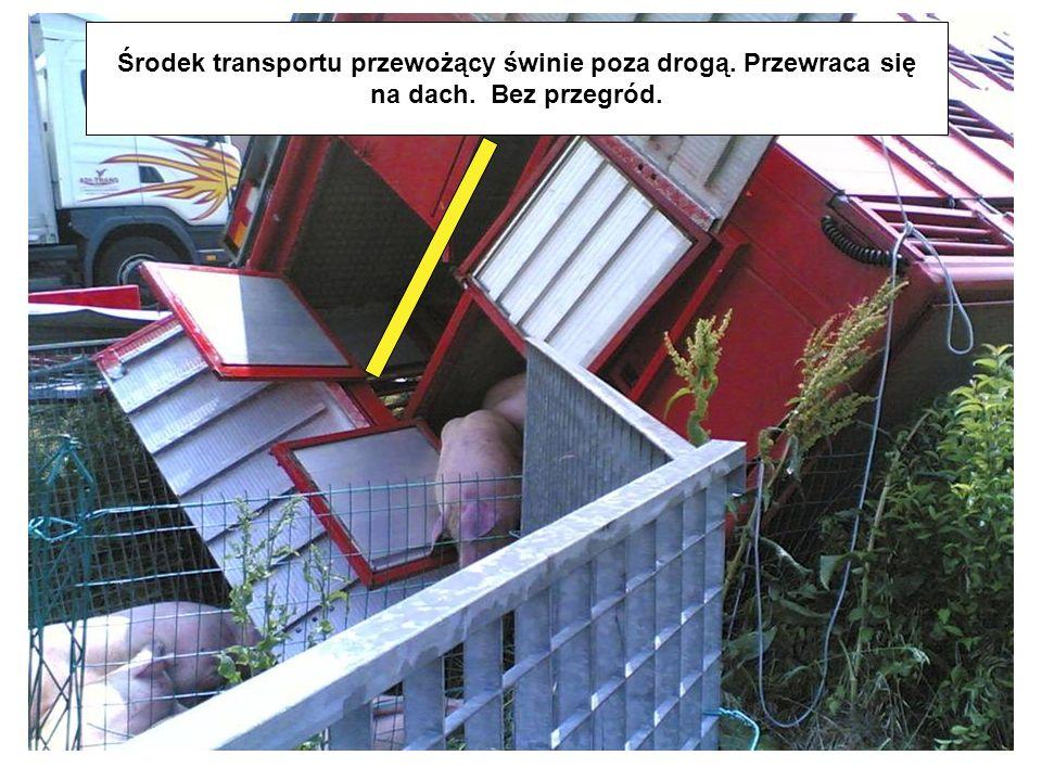 Środek transportu przewożący świnie poza drogą. Przewraca się na dach. Bez przegród.