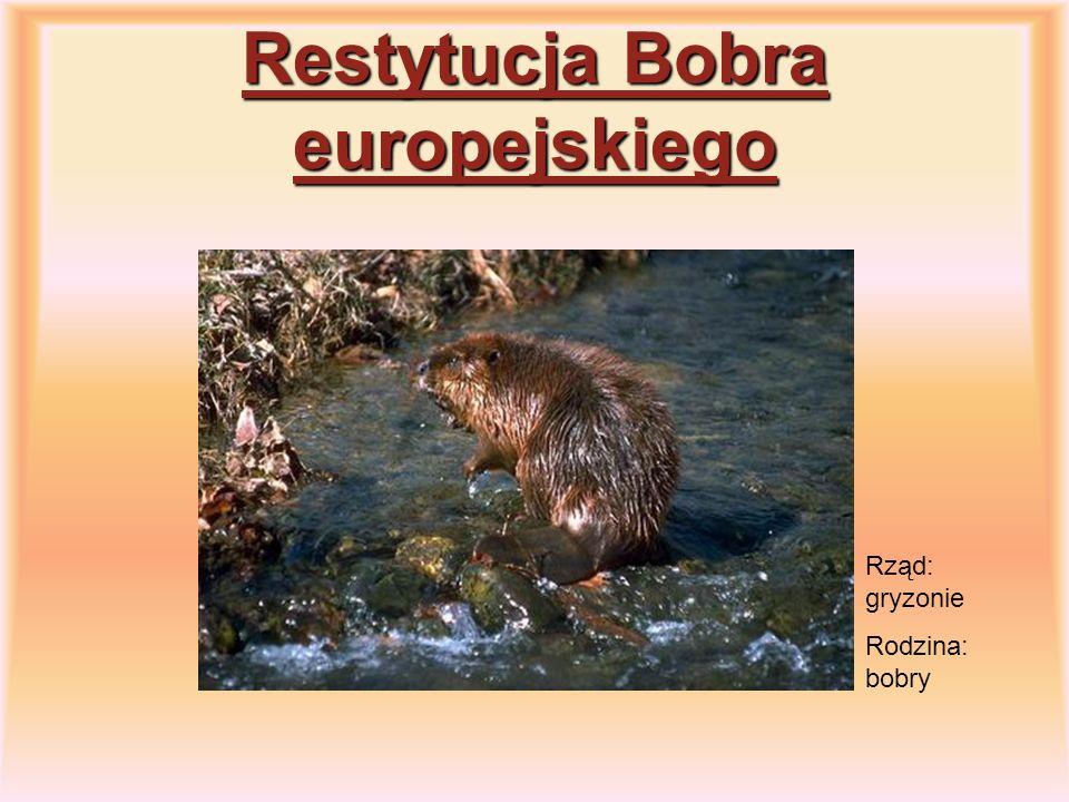 Restytucja Bobra europejskiego Rząd: gryzonie Rodzina: bobry