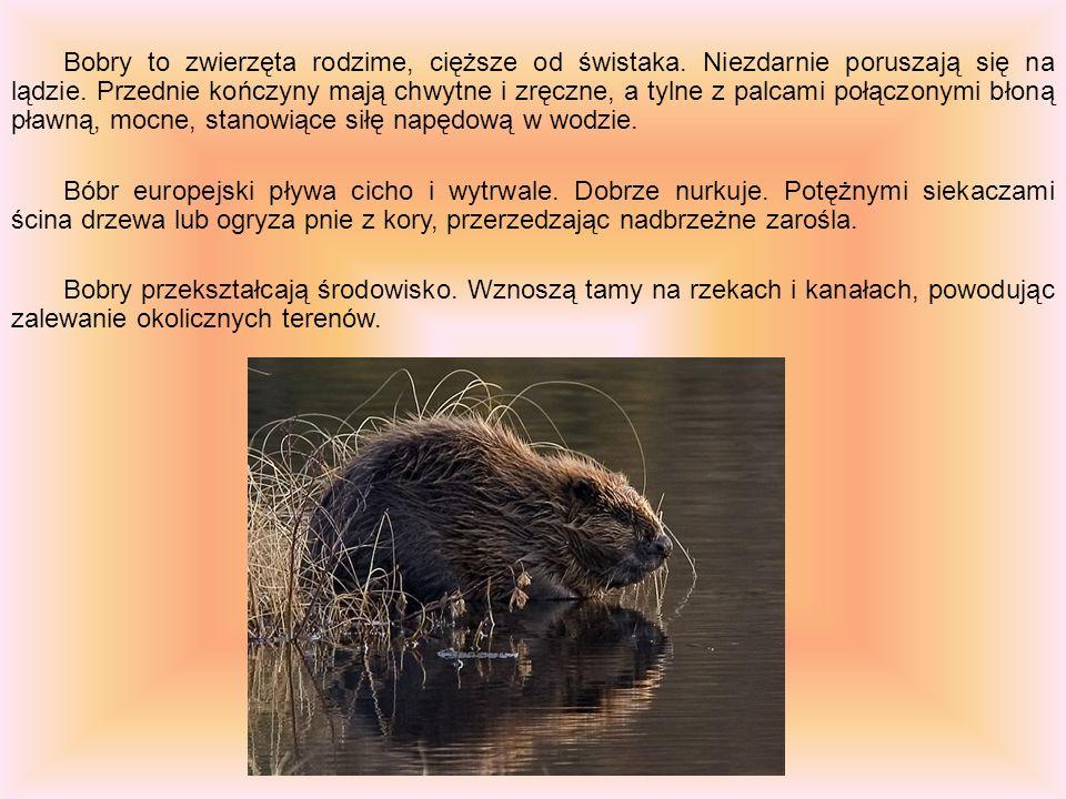 Bobry to zwierzęta rodzime, cięższe od świstaka. Niezdarnie poruszają się na lądzie. Przednie kończyny mają chwytne i zręczne, a tylne z palcami połąc
