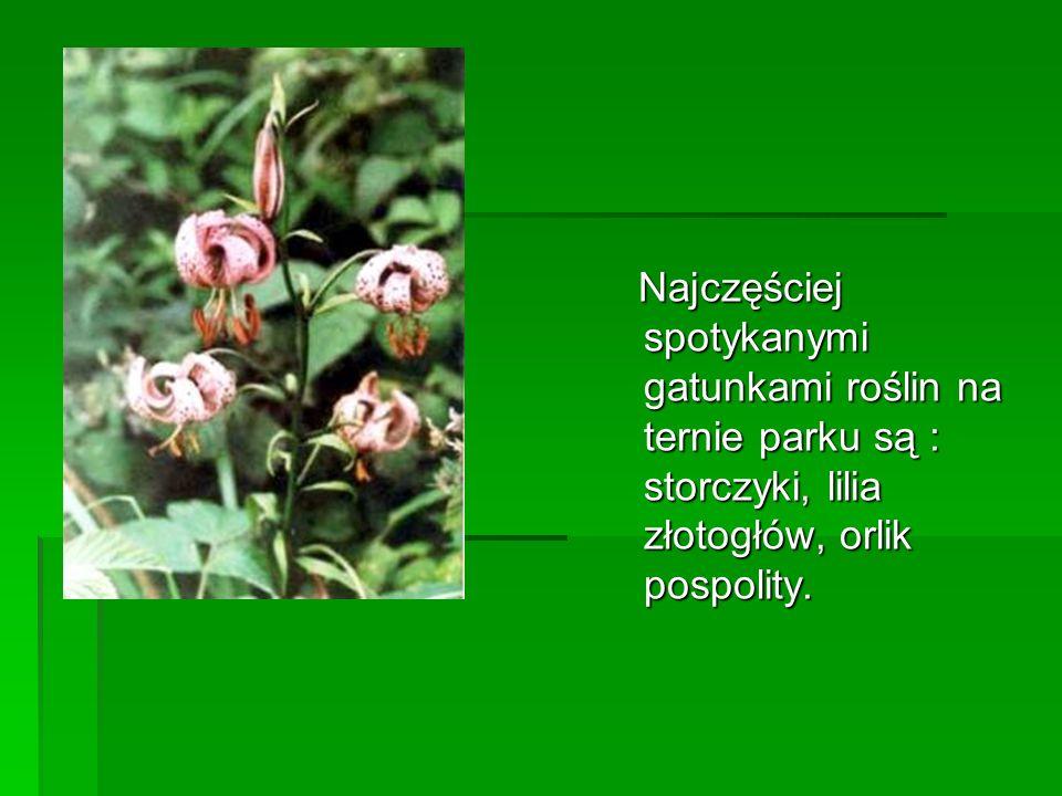 Najczęściej spotykanymi gatunkami roślin na ternie parku są : storczyki, lilia złotogłów, orlik pospolity. Najczęściej spotykanymi gatunkami roślin na